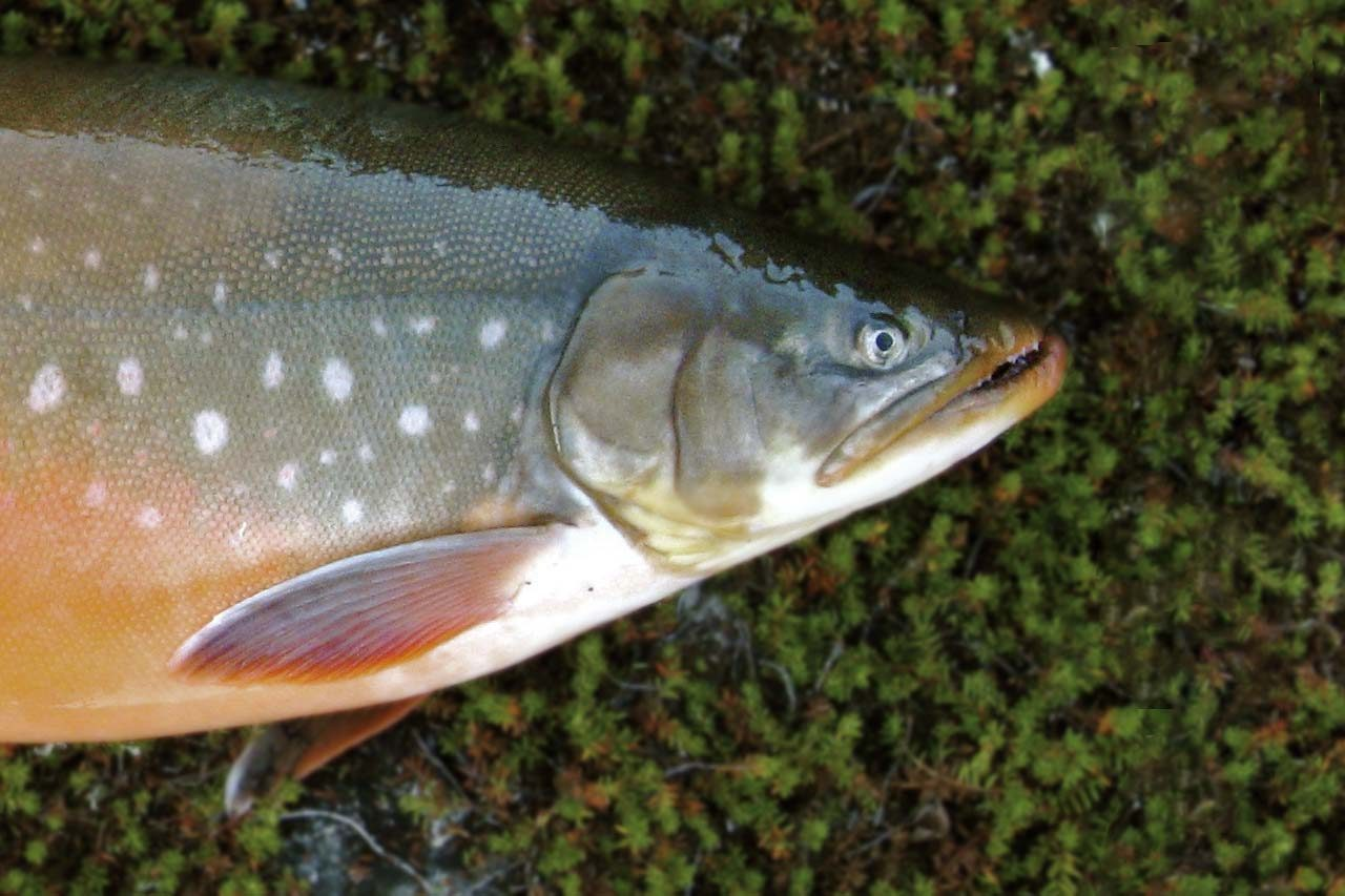 Quebec Fishing Lodges - Arctic Char